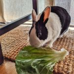 Dutch bunny eating a large radicchio leaf