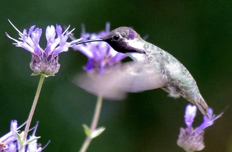 Salvia clevelandii (alpine cleveland sage) & hummingbird